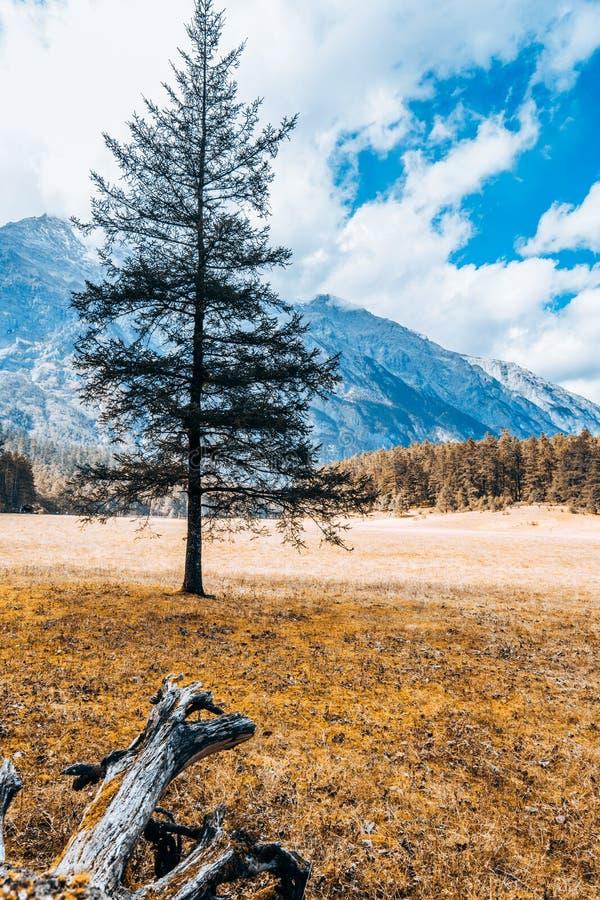 Autumn Scenery de pin impeccable en Jade Dragon Snow Mountain, Lijiang, Yunnan, Chine images stock