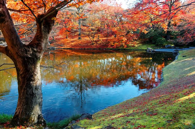 Autumn scenery of fiery maple trees by a lake in beautiful Sento Imperial Palace Royal Villa Park. In Kyoto Japan, with red fallen leaves on the lakeshore & a royalty free stock photos