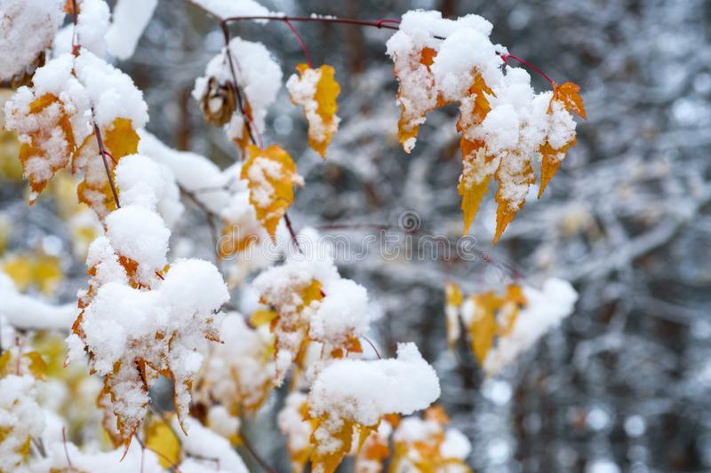 Autumn Scenery: Tree Branch with Gold and Orange Leaves in Late Fall Covered by First Snow stock photo