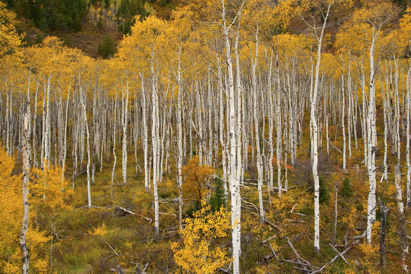 Autumn Season. With golden aspen trees in Colorado stock photos