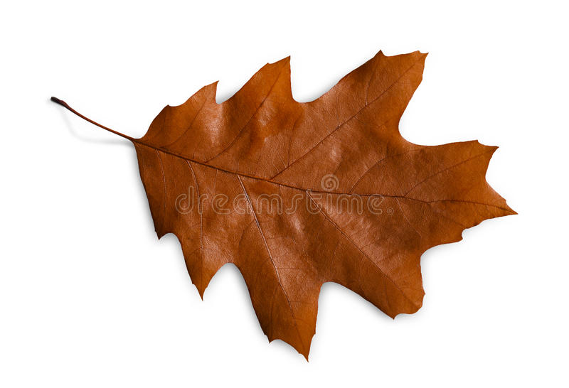 Autumn season background, brown oak leaf. Isolated on white background with copy space stock photography