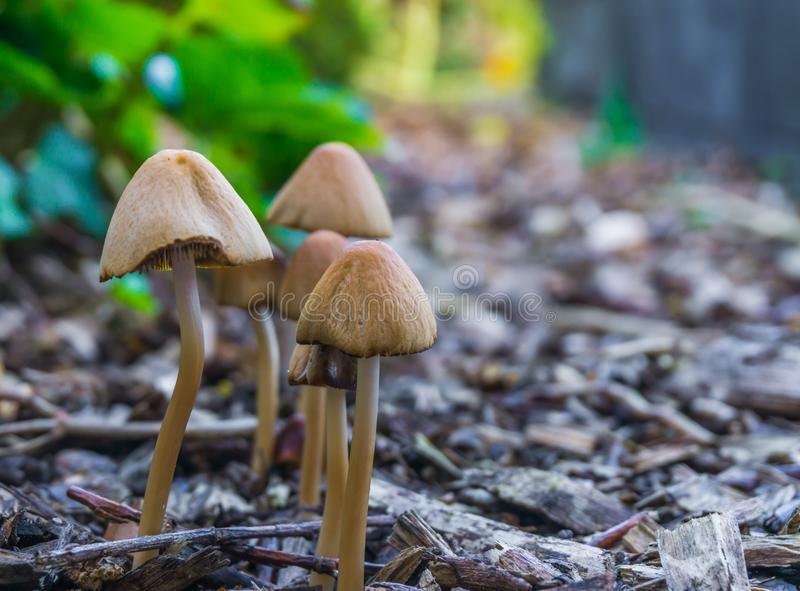 Autumn season group of white dunce cap mushrooms with bell shaped caps growing together in some wood chips. Autumn season a group of white dunce cap mushrooms stock image