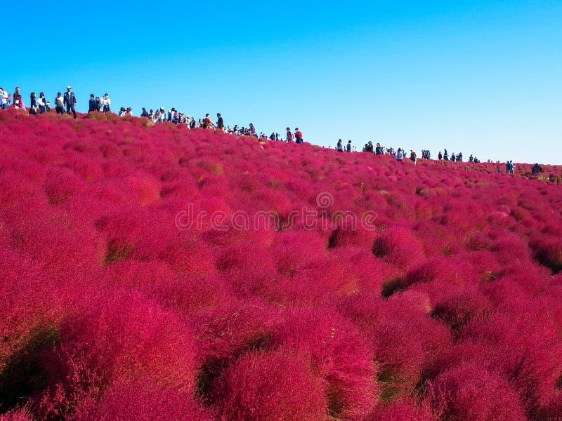 Red Kochia at Hitachi Seaside Park stock image