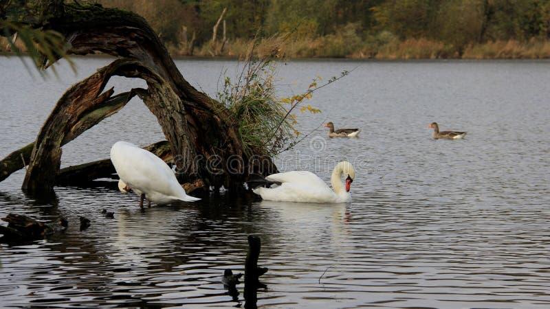Autumn Season With View Of naturligt liten sjö och djurliv fotografering för bildbyråer