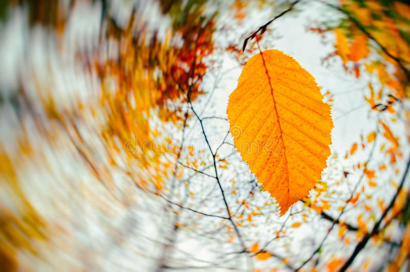 Autumn season. Wind blowing yellow leaves royalty free stock photos