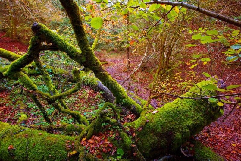 Autumn Selva de Irati-beukwildernis in Navarra de Pyreneeën Spanje royalty-vrije stock foto's