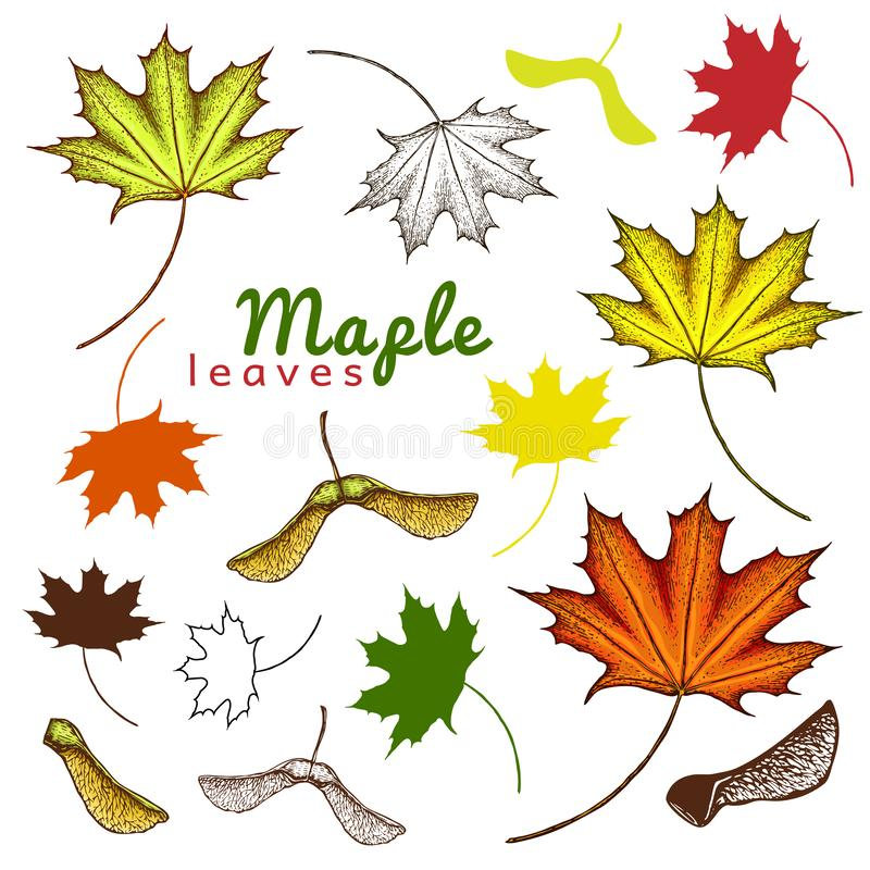 autumn set of outline ink and colored maple leaves and seeds. engraved maple leaves and seeds. hand drawn illustration of various stock illustration