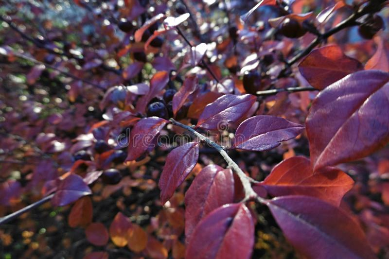autumn shrub with berries stock photography