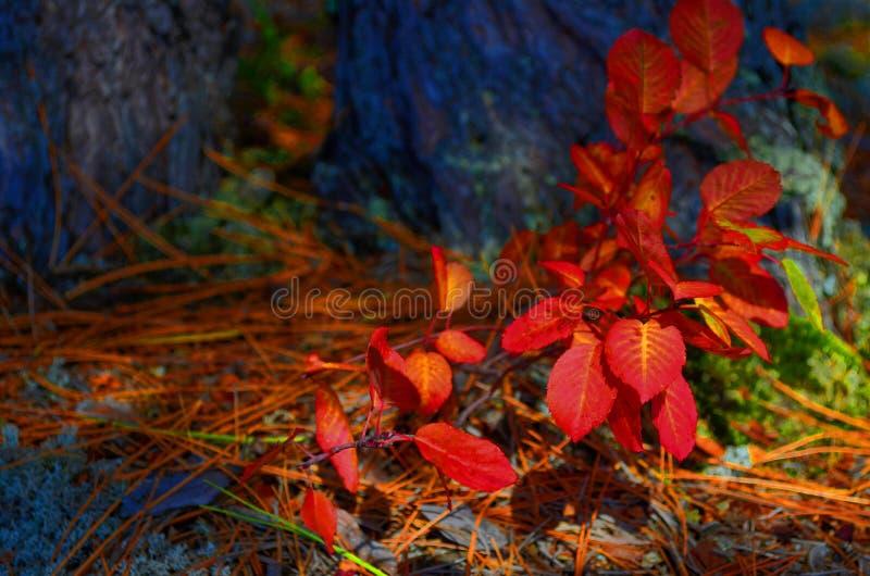 Autumn Shrub Colourful, Quetico, Ontario fotografie stock libere da diritti