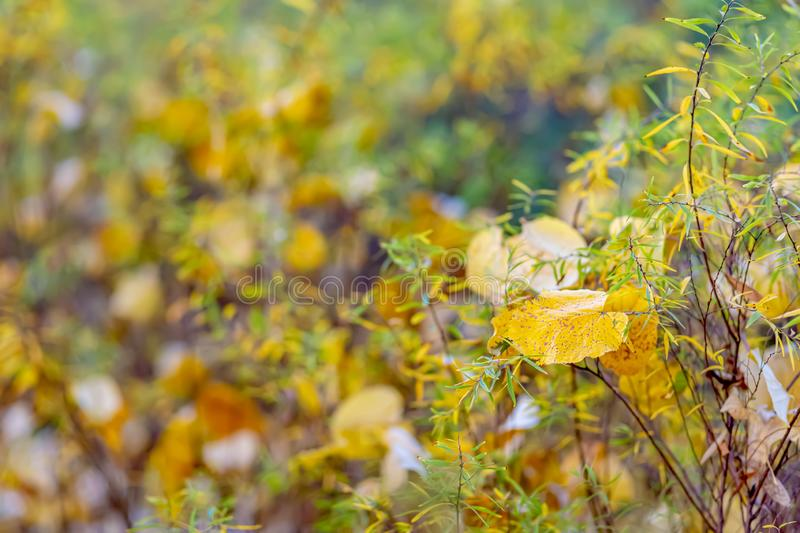Autumn. Shrubs and yellow leaves. Nature beautiful blurred background. Shallow depth of field. Toned image. Copy space. stock photos
