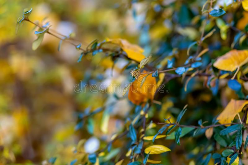 Shrubs and yellow leaves. Autumn. Nature beautiful blurred background. Shallow depth of field. Toned image. Copy space. royalty free stock image