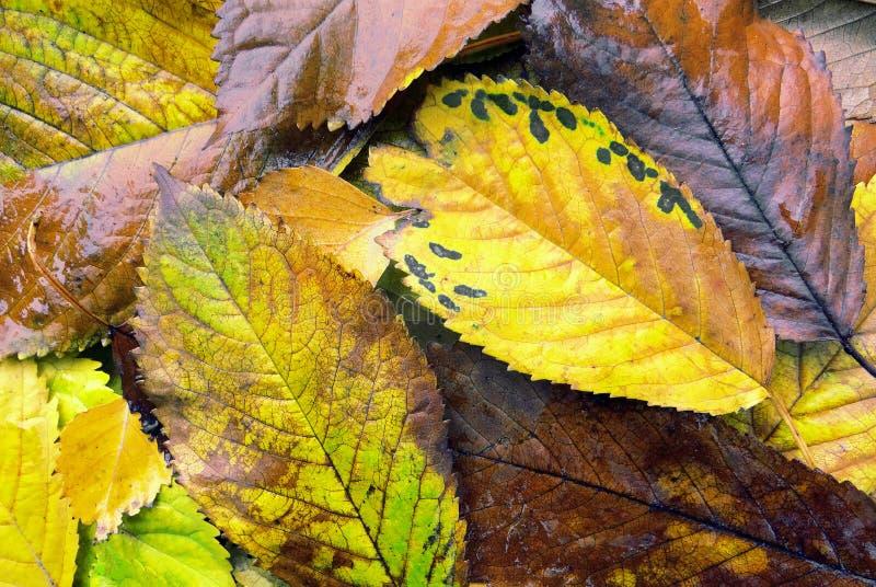autumn się liście jesienią zbliżenie kolor tła ivy pomarańczową czerwień liści obraz royalty free