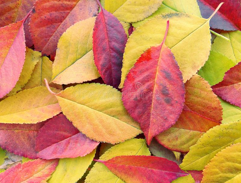 autumn się liście jesienią zbliżenie kolor tła ivy pomarańczową czerwień liści obrazy royalty free