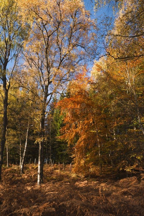 Autumn Silver Birch fotografia de stock