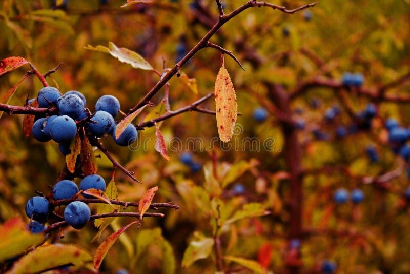 Autumn sloes royalty free stock photos