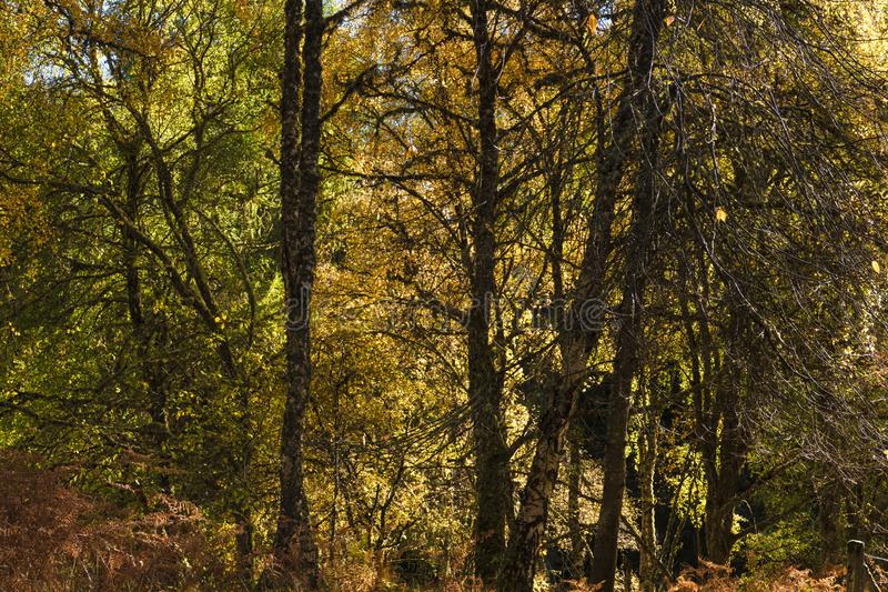 Autumn Speyside Woodland. Autumnal in a Speyside woodland area with entangled trees and the foliage starting to turn colour. 20 October 2018 stock photography