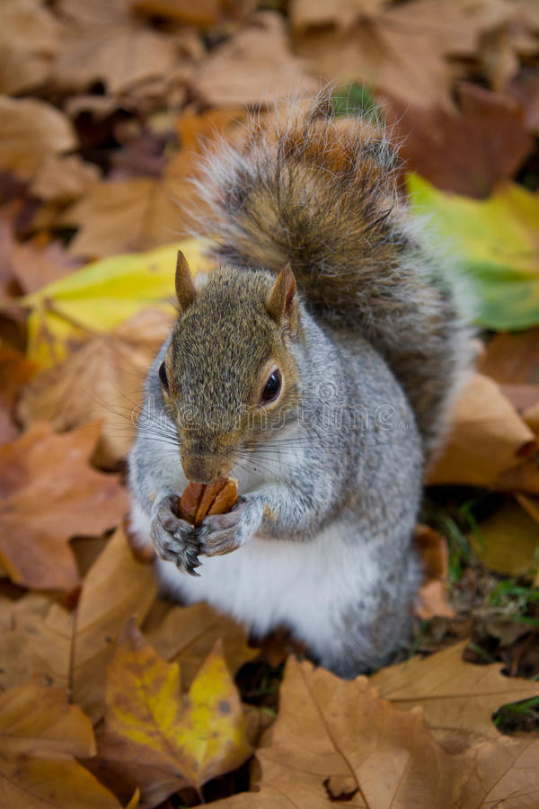Autumn Squirrel Eating. An squirrel pictured eating a nut in the middle of autumn leaves stock image