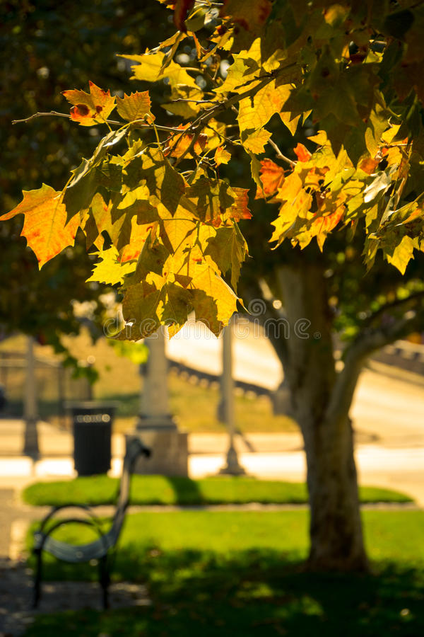Autumn in St. Louis. An iron-wrought bench, delicately curved stands in the shadow of the yellow foliage in the golden autumn in a city park in St. Louis royalty free stock photo