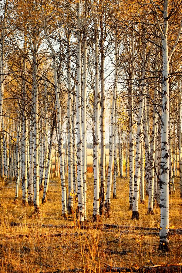 An stand of aspen trees in autumn. The golden glow of autumn in a stand of aspen trees in the forest stock photography