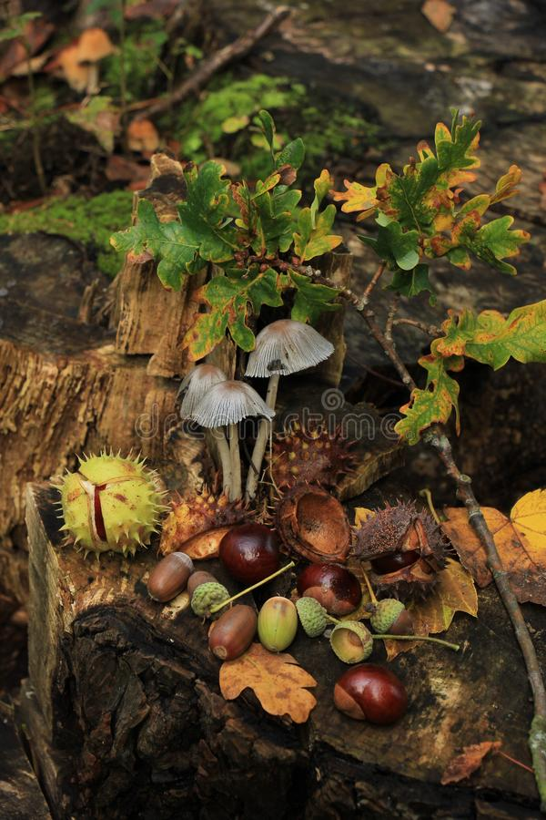 Autumn still life. In a fall forest: mushrooms, chestnuts and leaves royalty free stock images