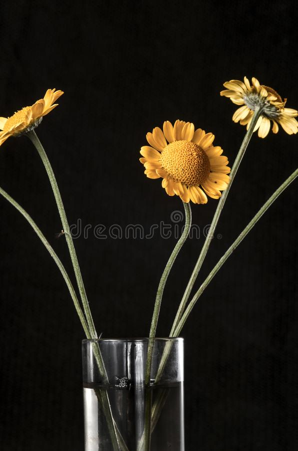 Autumn still life. The belly button is tinted in a glass goblet. Five flowers in a glass on a dark background close-up royalty free stock photography