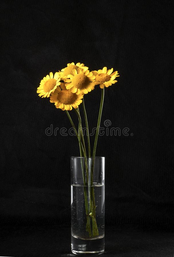 Autumn still life. The belly button is tinted in a glass of water. Five yellow flowers on a dark background stand in a glass of water royalty free stock photo