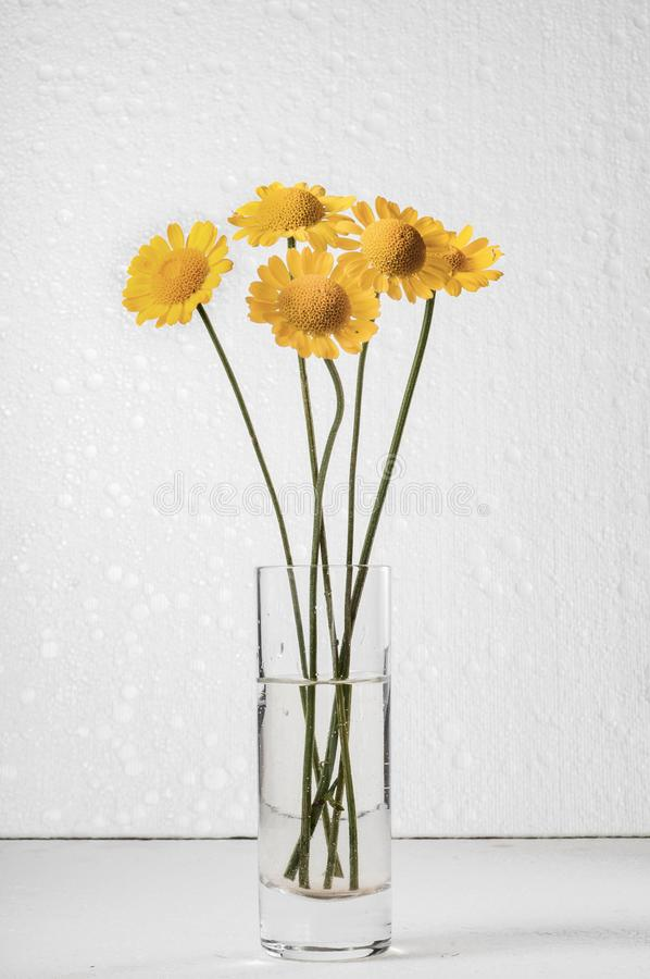 Autumn still life. The belly button is tinted in a glass of water. Five yellow flowers against a white foam stand in a glass of water royalty free stock photo