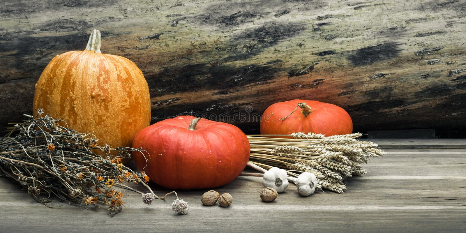 Autumn still life concept with space for text or congratulations. ripe pumpkins and bunches of dried wheat and herbs on a royalty free stock photos