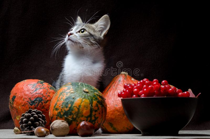 Autumn still life kitty color tabby sits on a sackcloth behind three bright pumpkins in a clay bowl with viburnum stock photography