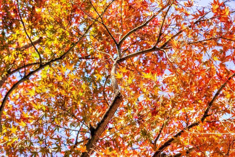 Autumn-structuur met rode en gele maple-bladeren achtergrond stock afbeelding