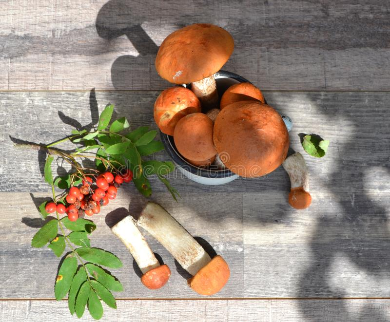 Autumn styled botanical arrangement. Composition of red cup boletus mushrooms, rowan berries on shabby table flat lay in sunny day stock image