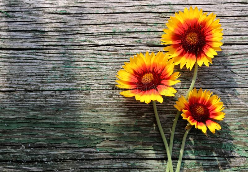 Autumn or summer yellow and orange daisy flowers on wooden rustic table. stock photo