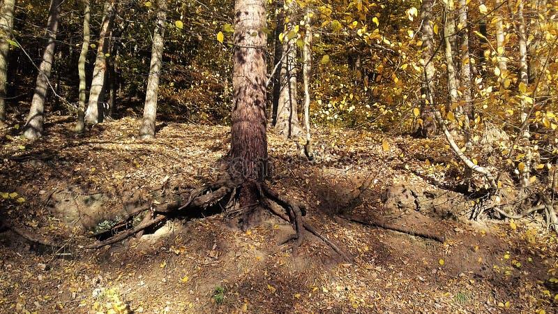 Autumn Sun Forêt au soleil Lames de jaune Automne tardif photo stock