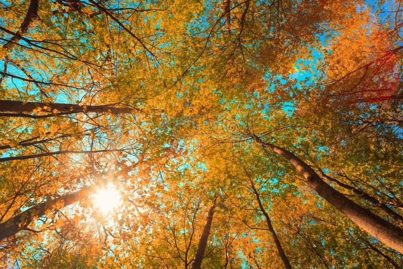 Autumn Sun Shining Through Canopy des arbres d'érable grands Branches supérieures d'arbre avec le feuillage jaune-orange de coule photos stock