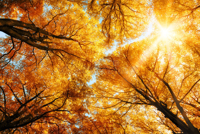 The autumn sun shining through golden treetops. The warm autumn sun shining through the golden canopy of tall beech trees stock image