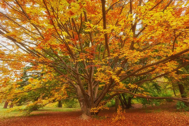 The autumn sun warmly shining through the beautiful branches of royalty free stock image