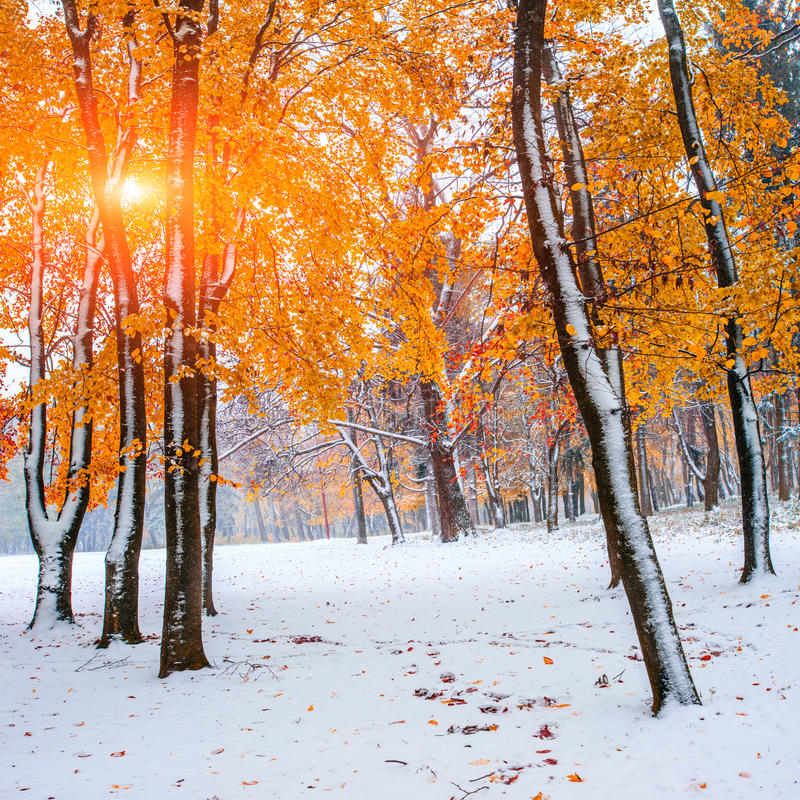 Autumn. Sunlight breaks through the autumn leaves of the trees in the early days of winter royalty free stock image
