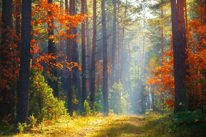 Autumn sunlight in forest stock images