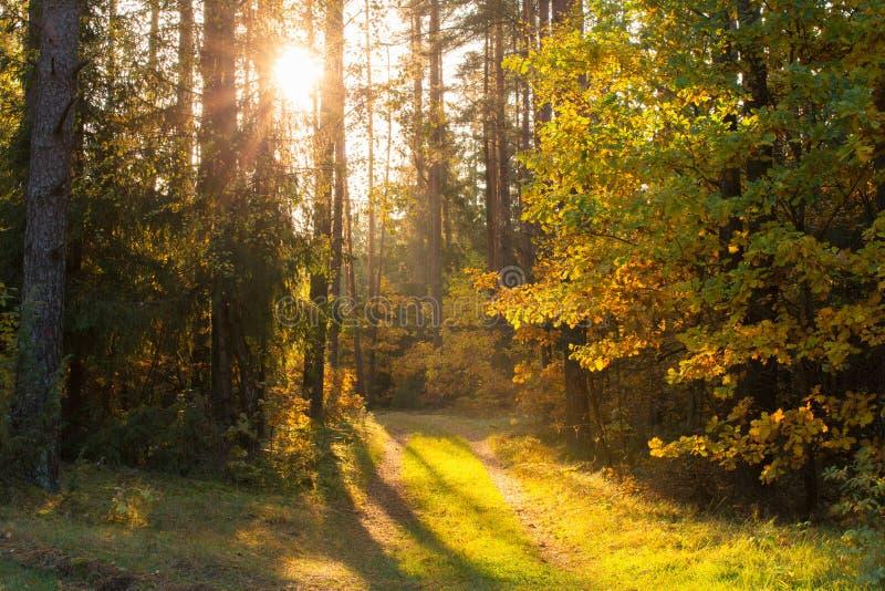 Autumn sunny forest royalty free stock photos