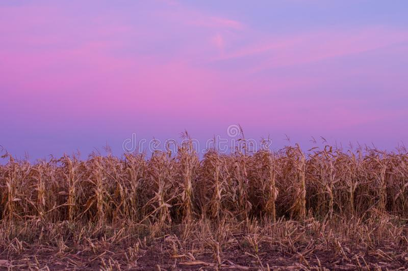 Autumn sunset in a cornfield. royalty free stock images