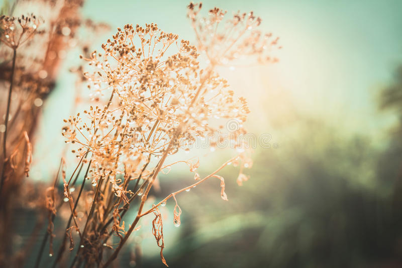 Autumn sunset landscape nature background. Dried flowers with water drops after the rain royalty free stock photo