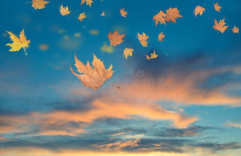 Autumn winter background leaves wind weather. Autumn sunset leaves space for your text wind weather stock images