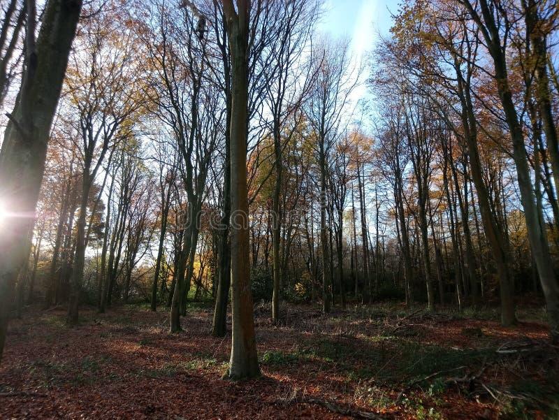 Autumn Sunshine en el alto bosque de Netherfield imágenes de archivo libres de regalías