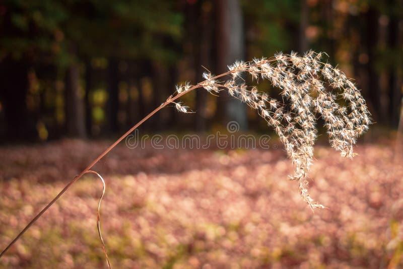 Autumn Susuki gräs fotografering för bildbyråer