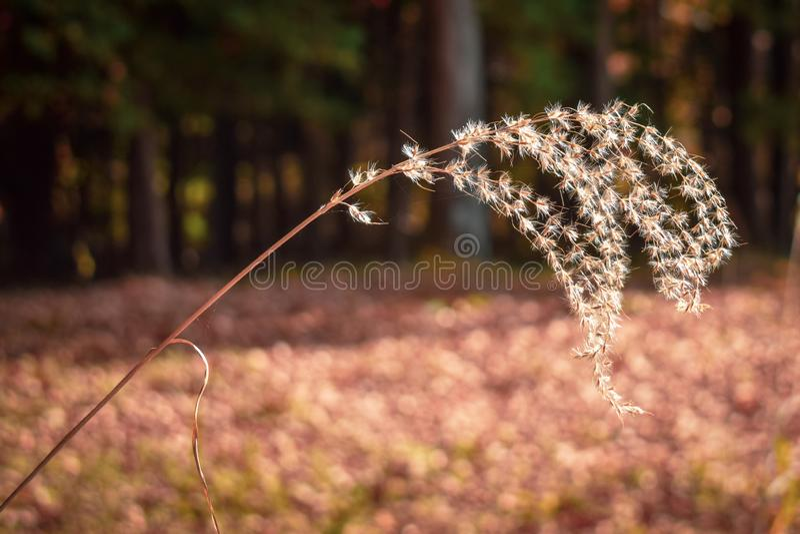 Autumn Susuki-gras stock afbeelding