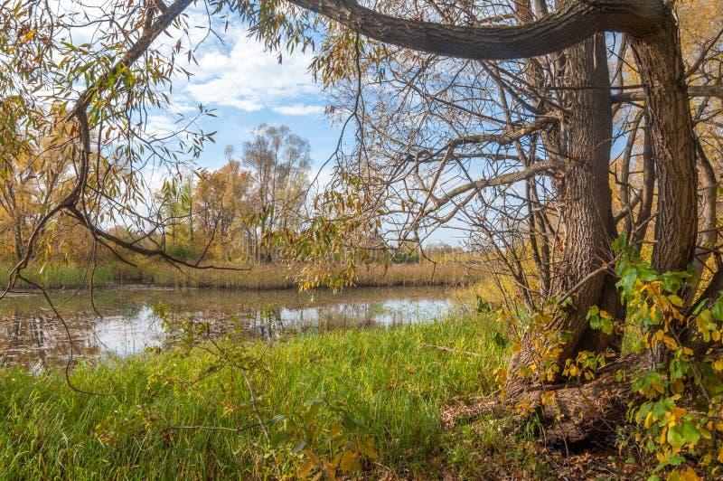 Autumn Swamp Rottingen växer i träsket royaltyfri fotografi