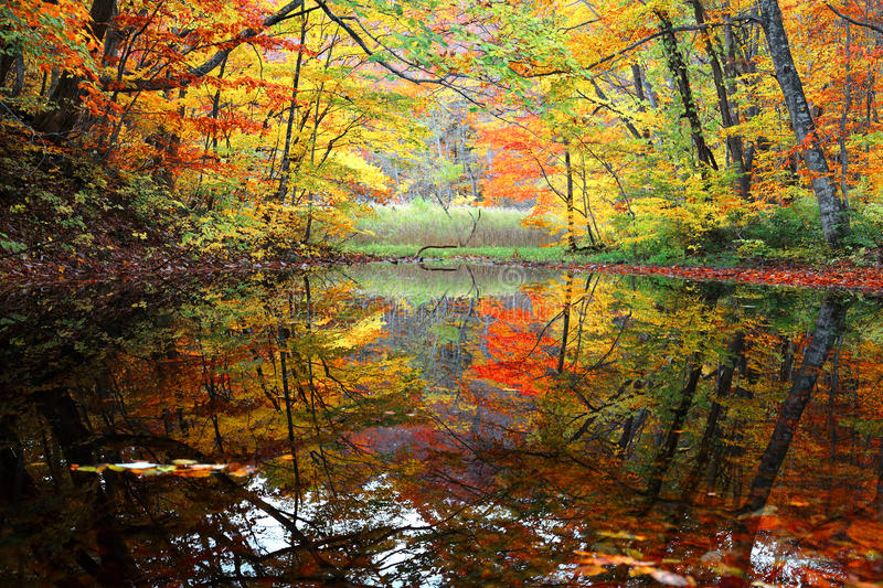 Autumn swamp scenery with beautiful autumn foliage reflected on water royalty free stock photo