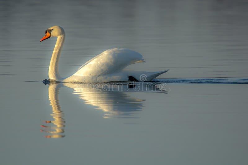 Autumn Swan fotografie stock libere da diritti