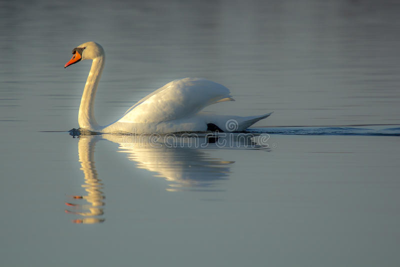Autumn swan royalty free stock photos
