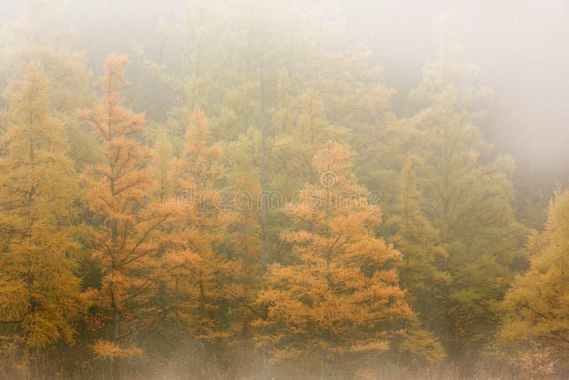 Autumn Tamaracks in nebbia fotografia stock libera da diritti